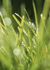 Gras betaut