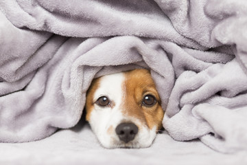 portrait of a cute young small dog looking at the camera with a grey blanket covering him. White background. cold concept
