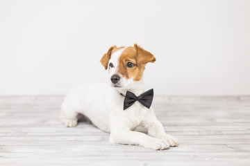 cute young small white dog wearing a black bowtie. Sitting on the floor and looking at the camera.Home and lifestyle, Pets indoors