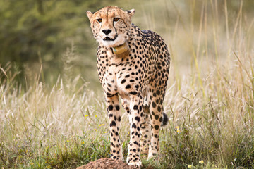 Female Cheetah zoning in and locking onto prey in the distance
