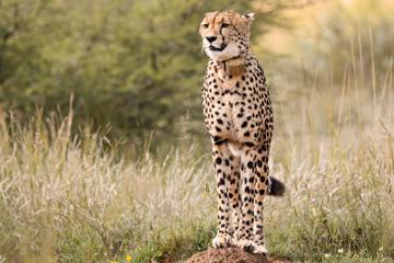 Female Cheetah scanning the world around to locate prey