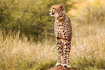 Female cheetah looking around for possible prey to hunt