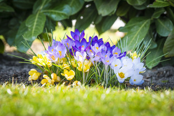 Colorful crocus flowers in various colors