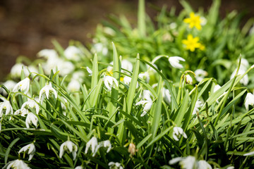 Many snowdrop flowers in a garden in April