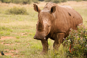 White Rhinoceros mother alert to activity in the area