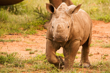 White Rhinoceros calf curiously investigating all movement in his proximity