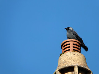 a common Eurasian jackdaw perched on a chimney with bright blue sky
