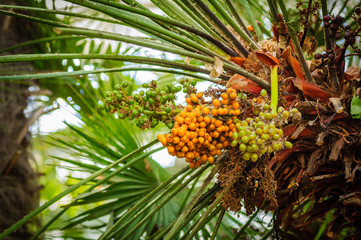 Fruits on palm. Green palm leaves and orange and green fruits.
