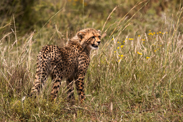 Young Cheetah cub calling for its mother