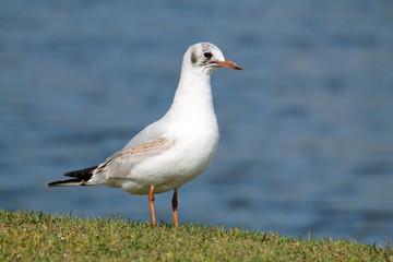 Black-headed gull (Chroicocephalus ridibundus) in juvenile plumage against blue water background