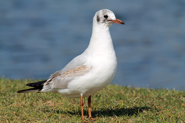 Black-headed gull (Chroicocephalus ridibundus) in juvenile plumage against blue water background