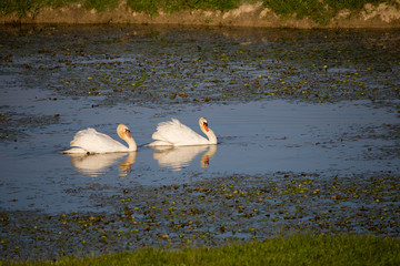 Couple of mute swans (Cygnus olor) during courtship in sunset, full frame, copy right, Isola della Cona, Italy, Europe
