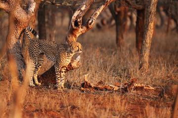 The cheetah (Acinonyx jubatus) in the sunset. Large male marking territory.