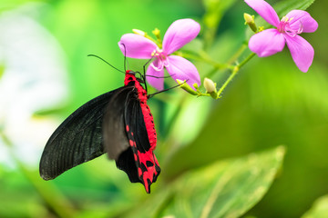 Beautiful butterfly Antrophaneura semperi in tropical forest