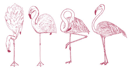 Pink flamingo. Hand drawn vector birds, sketch graphic vintage style, phoenicopteridae. Tropical animal.