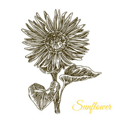 Sunflower. Sketch. Engraving style. Vector illustration.