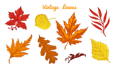 Leaves set, Flower and medicinal herb. Rustic decorative plant. Wedding botanical garden. Vector illustration. engraved hand drawn in vintage victorian sketch. Maple and poplar, oak, birch, chestnut.