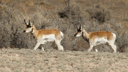 Pronghorn Antelope Southeastern Utah Desert Near Colorado Border