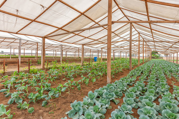 Inside view greenhouse. Angola. Cabinda.