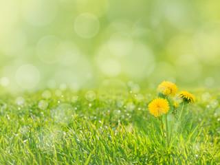Dandelion flowers on the blurreg grass background