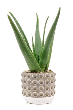 Aloe vera plant in a cement pot isolated on a white background