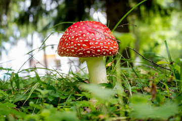 Mushroom Amanita muscaria. Commonly known as the fly agaric or fly amanita
