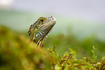 Shades of green, portrait of a juvenile iguana in a green environment