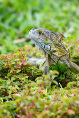 Shades of green, vertical portrait of a juvenile iguana in a green environment