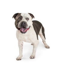 American Staffordshire Terrier Purebred Dog
