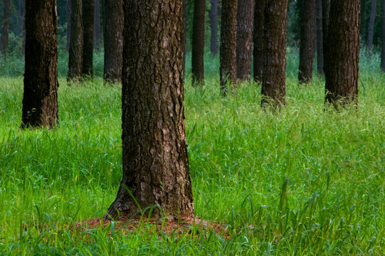 Loblolly Pine Forest