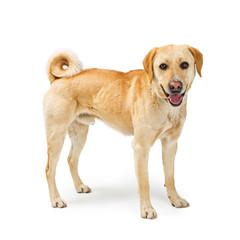 Mixed Labrador Retriever Dog Happy Expression
