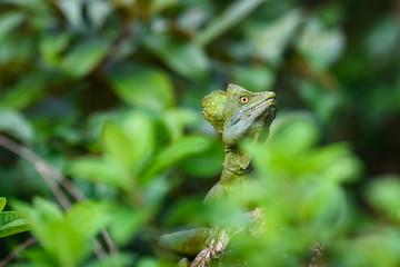 Close up portrait of a juvenile iguana in the lush green rain forest, Costa Rica
