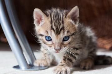 Cute bengal kitten at home