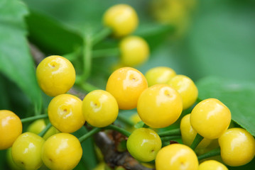 close up on yellow cherry on the branch