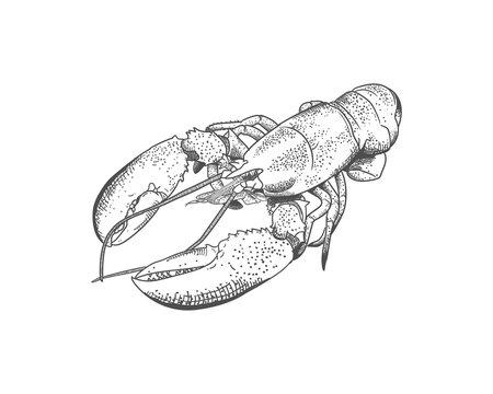 Lobster Realistic Hand Drawn Sketch Illustration Sea Food Vector
