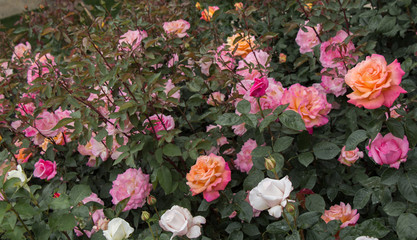 Blooming beautiful colorful roses in the garden