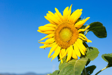 Sunflower with bee in the morning.