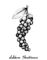 Hand Drawn of Antidesma Thwaitesianum Fruits on White Background
