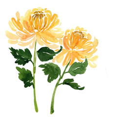 Two sketch watercolor yellow chrysanthemum flowers