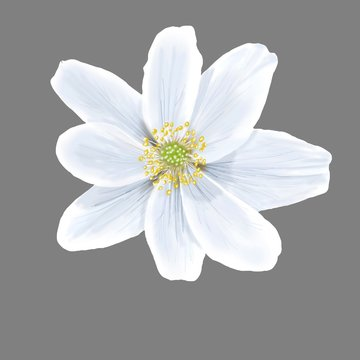 Fiore bianco Anemone nemorosa