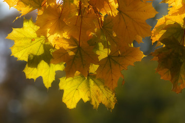 Detailed view of yellow maple leaves at autumnal time