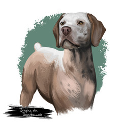 Braque du Bourbonnais dog breed isolated on white background digital art illustration. Gundog rustic appearance with short tail, portrait of realistic carnivore dog for web print design, friendly pet