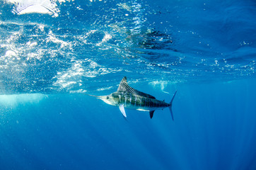 Striped marlin off the mexican coast
