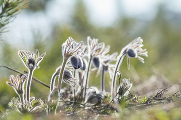 Beautiful spring violet flowers background. Eastern pasqueflower, prairie crocus, cutleaf anemone with water drops.Shallow depth of field. Toned. Copy space.