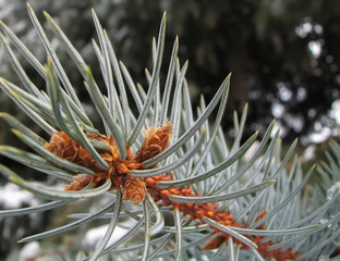 Blue spruce branch with buds