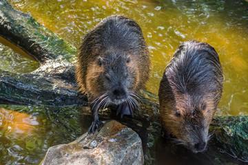 Beaver Rat Swimming Water Brown Animal Zoo