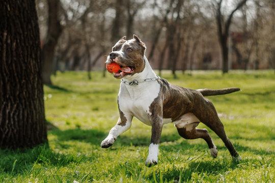 amstaff terrier dog spring walk in park