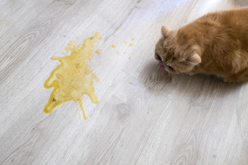 Yellow vomit on a light wooden floor and a cat
