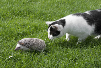 Fototapete - Four-toed Hedgehog (African pygmy hedgehog) - Atelerix albiventris and cat in the garden