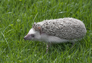 Fototapete - Four-toed Hedgehog (African pygmy hedgehog) - Atelerix albiventris in grass
